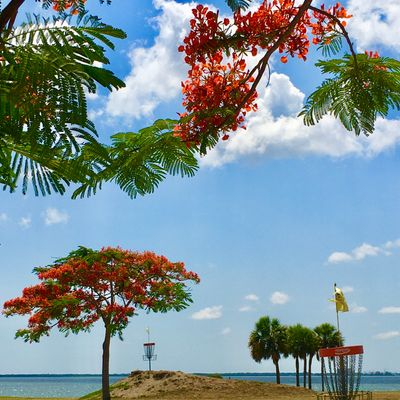 Royal Poinciana trees in bloom